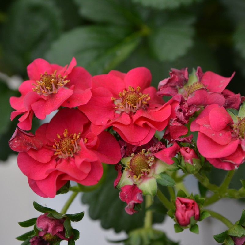 FRAISE (FRAGARIA) 'SUMMER BREEZE ROSE'