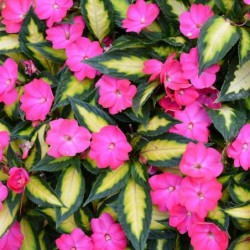 IMPATIENS HAWKERI SUNPATIENS® COMPACT TROPICAL ROSE