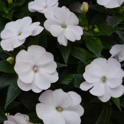 IMPATIENS HAWKERI SUNPATIENS® VIGOROUS CLEAR WHITE