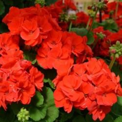 PELARGONIUM GALAXY™ RED