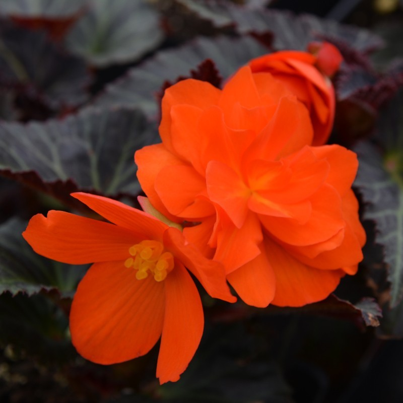 BEGONIA 'I'CONIA FIRST KISS'