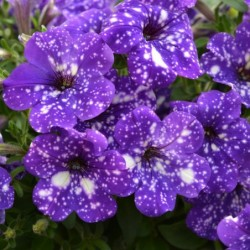 PETUNIA NIGHTSKY®