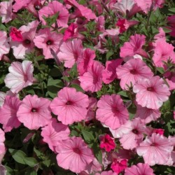 PETUNIA SUPERTUNIA VISTA® BUBBLEGUM®