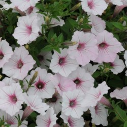 PETUNIA SUPERTUNIA VISTA® SILVERBERRY
