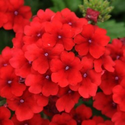 VERBENA 'EMPRESS FLAIR RED'