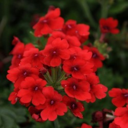 PELARGONIUM CALLIOPE® LARGE DARK RED