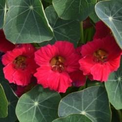 CAPUCINES (TROPAEOLUM MAJUS) 'BABY ROSE'