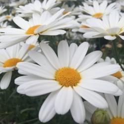 ARGYRANTHEMUM FRUTESCENS BUTTERFLY® PURE WHITE