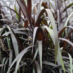 PENNISETUM PURPUREUM FIRST KNIGHT™