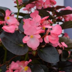 BEGONIA 'I'CONIA PORTOFINO YELLOW'