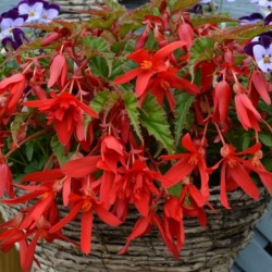 BEGONIA BOLIVIENSIS BEAUVILIA® RED