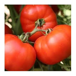 TOMATE (SOLANUM LYCOPERSICUM) 'EARLY GIRL'