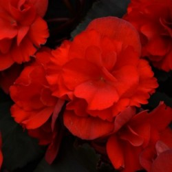 BEGONIA BENARIENSIS VIKING™ XL RED ON CHOCOLAT