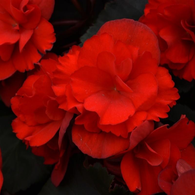 BEGONIA BENARIENSIS VIKING™ XL RED ON CHOCOLAT
