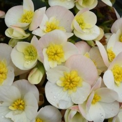 BEGONIA BOLIVIENSIS MILLION KISSES® DEVOTION