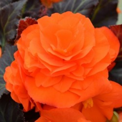 BEGONIA HIEMALIS DREAMS® GARDEN MACAROUGE
