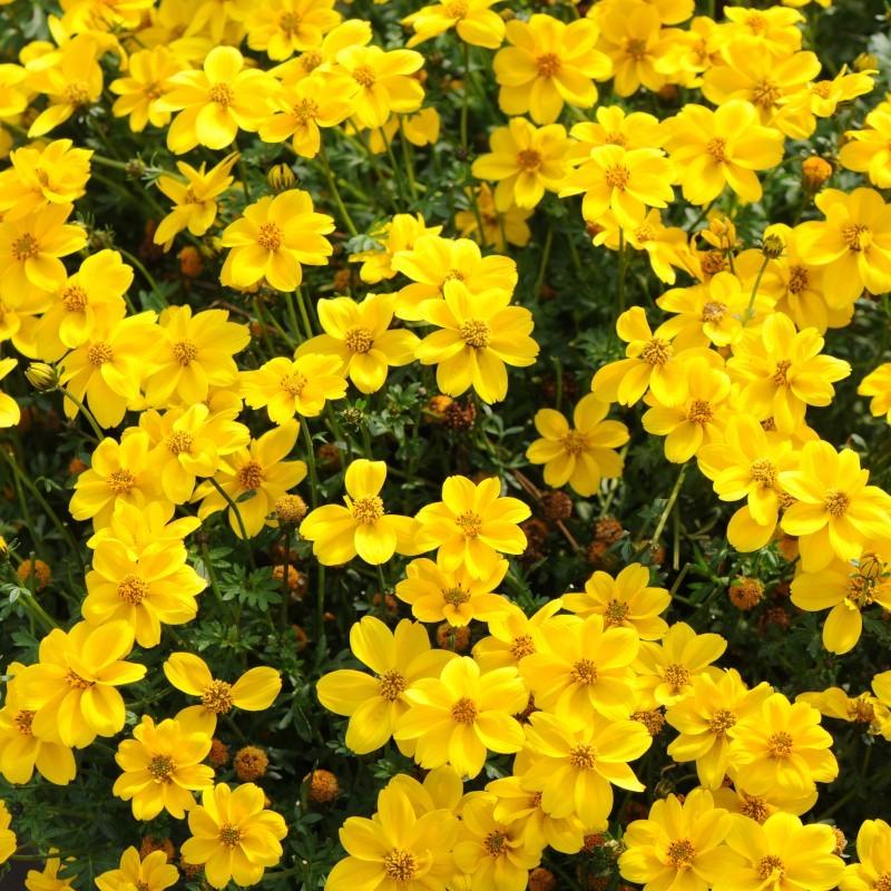 BIDENS FERULIFOLIA TIMELESS™ YELLOW SUNSHINE™