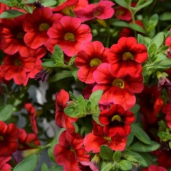 CALIBRACHOA 'HULA RED'
