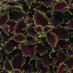COLEUS (PLECTRANTHUS SCUTELLARIOIDES) COLORBLAZE® WICKED WITCH™