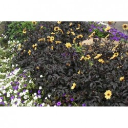 CALIBRACHOA SUPERBELLS® DOUBLETTE LOVE SWEPT™